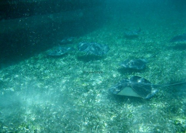 Sting Rays at Shark-Ray Alley