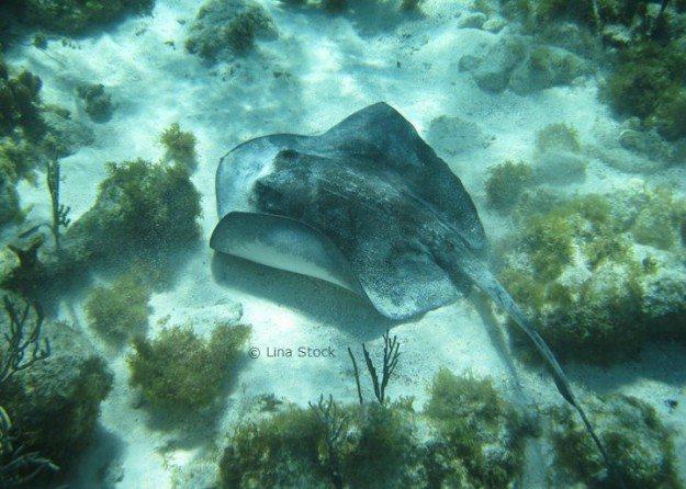 Cayman Islands stingray