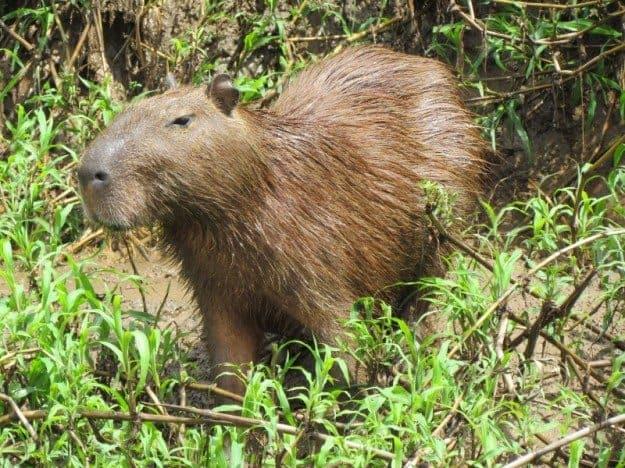 Wasai Tambopata Lodge Capybara
