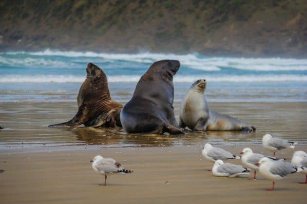 Cannibal Bay Sea Lions the Catlins New Zealand
