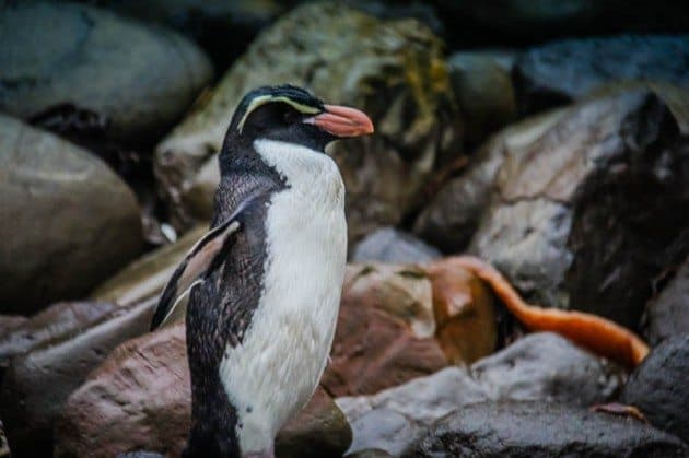 Fiordland Penguin The Catlins New Zealand
