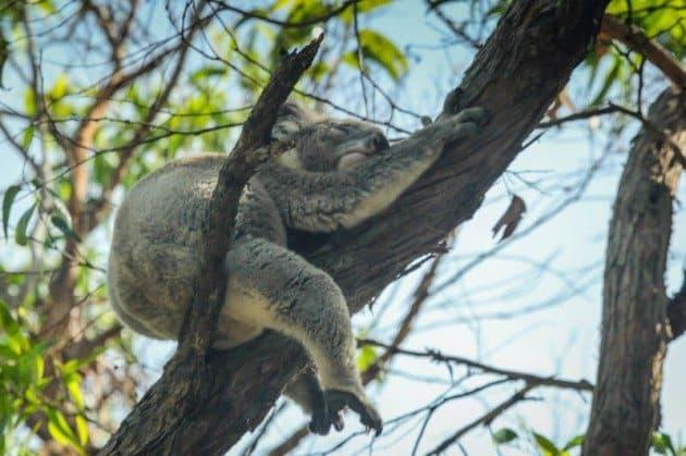 Koala Bears Great Ocean Road Australia
