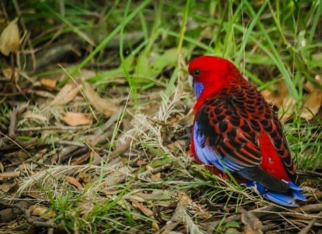Great Ocean Road Australia Rosella
