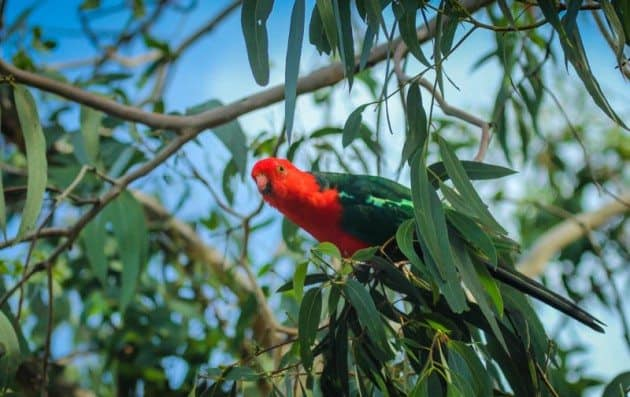 Wildlife Photos Great Ocean Road Australian Parrot