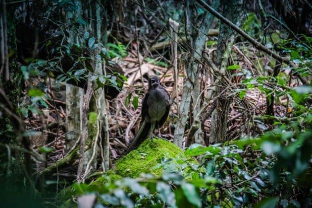 Lyrebird Australia Wildlife Photos