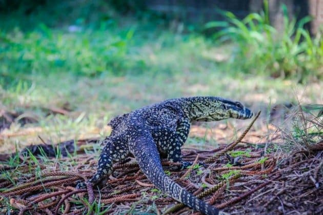 Monitor Lizard Gohanna Australia Wildlife Photos