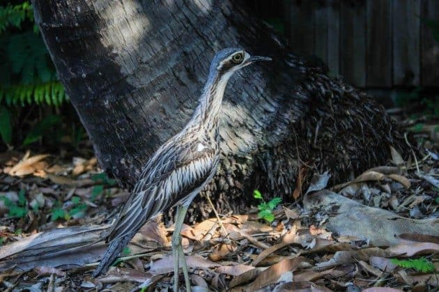 Bush Stone Curlew Australia Wildlife Photos