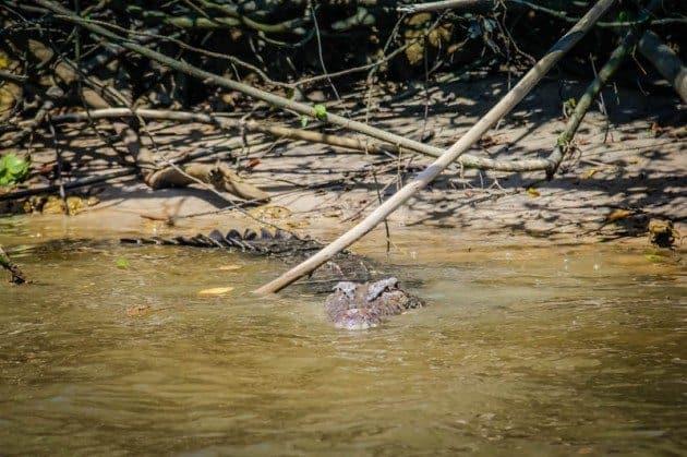 crocodiles, Cairns, Queensland, Australia