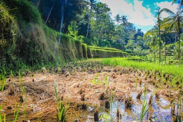 Tegalalong Rice Terraces Ubud Bali