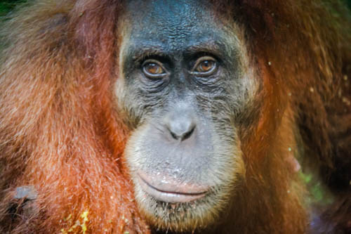 Thomas Jungle Tours Bukit Lawang Sumatran Orangutan Top things to do in Indonesia