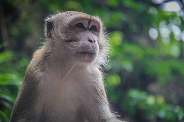Macaques Batu Caves Kuala Lumpur Malaysia