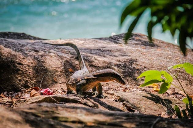 Monitor Lizard Penang National Park Monkey Beach Malaysia