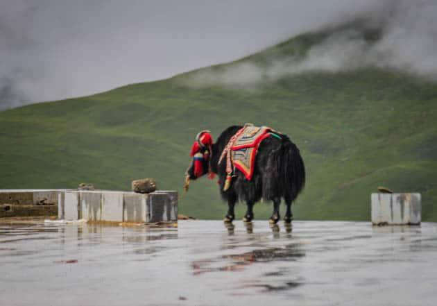 Gampa La Pass Tibet Yak Lhasa to Shigatse