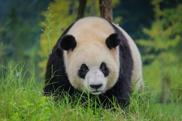 Giant Panda Chengdu China Divergent Travelers
