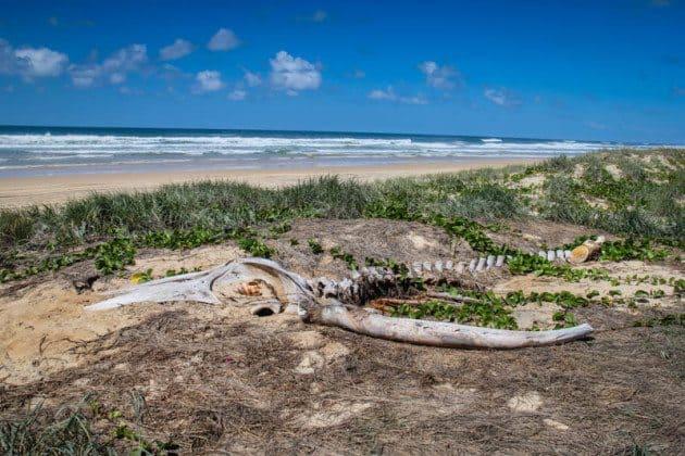 Humpback Whale Fraser Island Australia