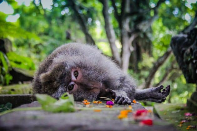 Monkey Forest Udud Bali