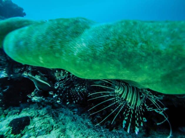 PADI Advanced Open Water Lion fish