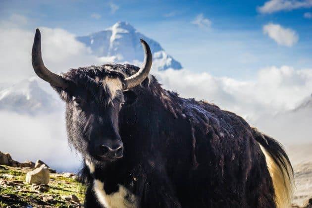 Yak Mount Everest Base Camp Tibet