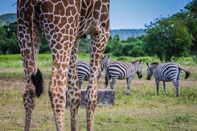 Caluit Island Safari Park Palawan Philippines Giraffe Zebra