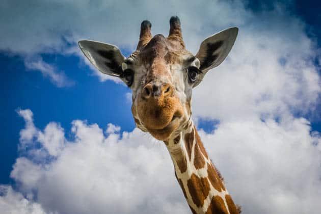 Caluit Island Safari Park Palawan Philippines Giraffe