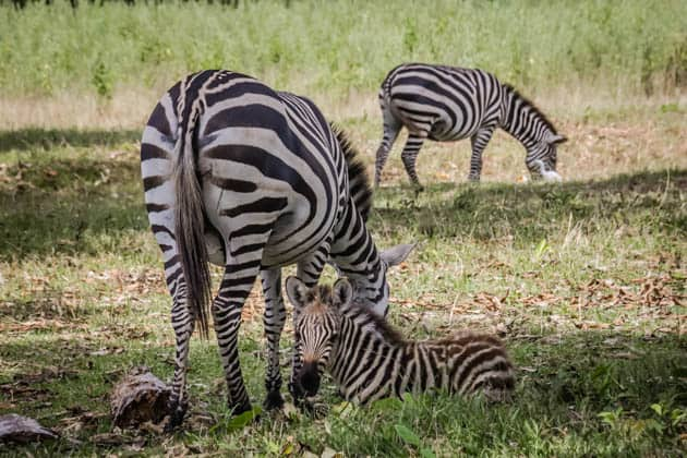 Caluit Island Safari Park Palawan Philippines Zebra