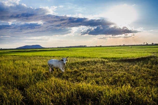 Rice Fields Siem Reap Cambodia