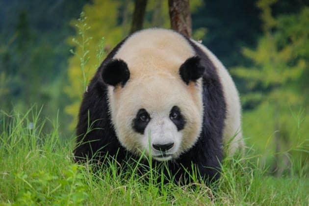 Giant Panda Chengdu China