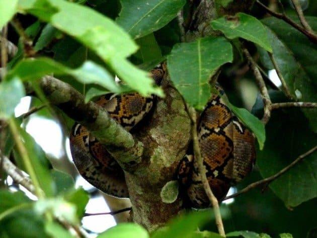 Reticulated Python Sukau Kinabatangan River Borneo