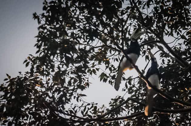 Asian Black Hornbill Sabah Borneo