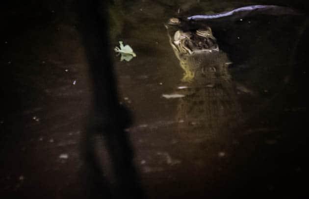 Borneo Crocodile Sukau Kinabatangan River