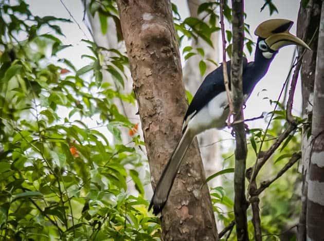 Oriental Pied Hornbill Sabah Borneo