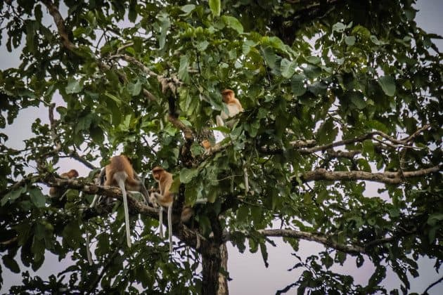 Proboscis Monkey Sukau Kinabatangan River Borneo