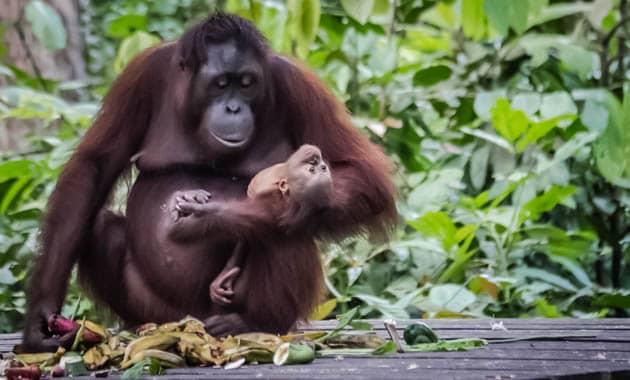Sepilok Orangutan Rehabilitation Center Sabah Borneo