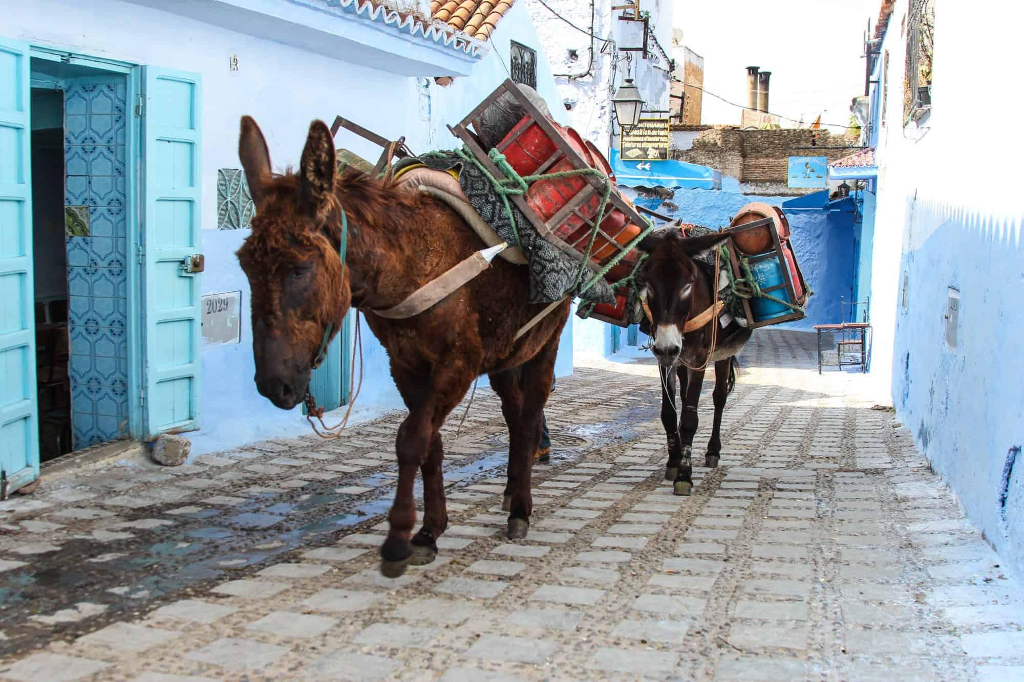 Donkeys Chefchaouen Morocco Blue City