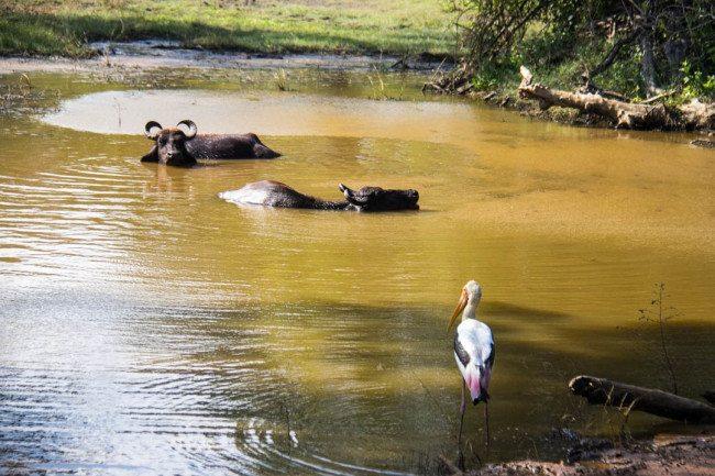 Buffalo Yala National Park Sri Lanka