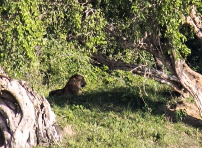 Leopard Yala National Park Sri Lanka