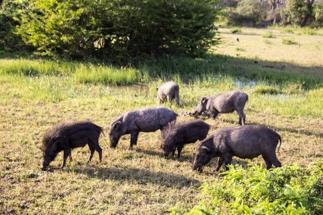 Wild Hogs Yala National Park Sri Lanka