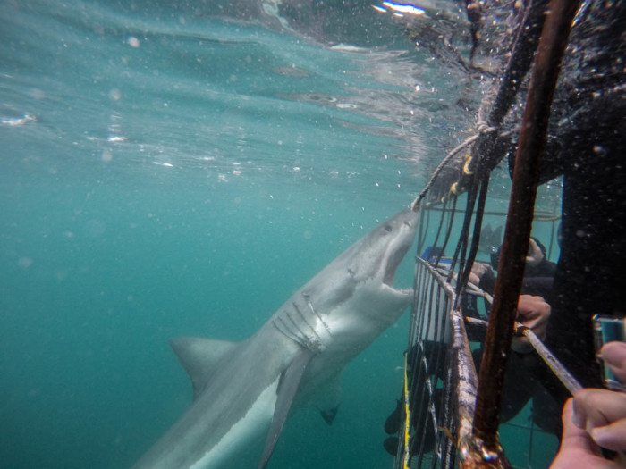 Great White Shark Cage Diving South Africa