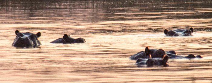 Okavango Delta Hippos Botswana