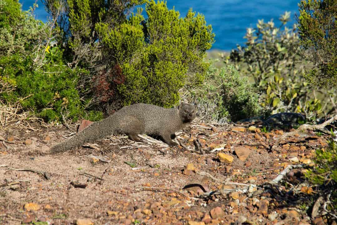 Cape Peninsula South Africa Mongoose