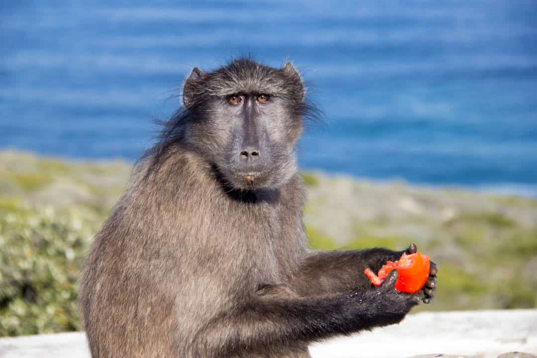 Cape Peninsula South Africa Baboon