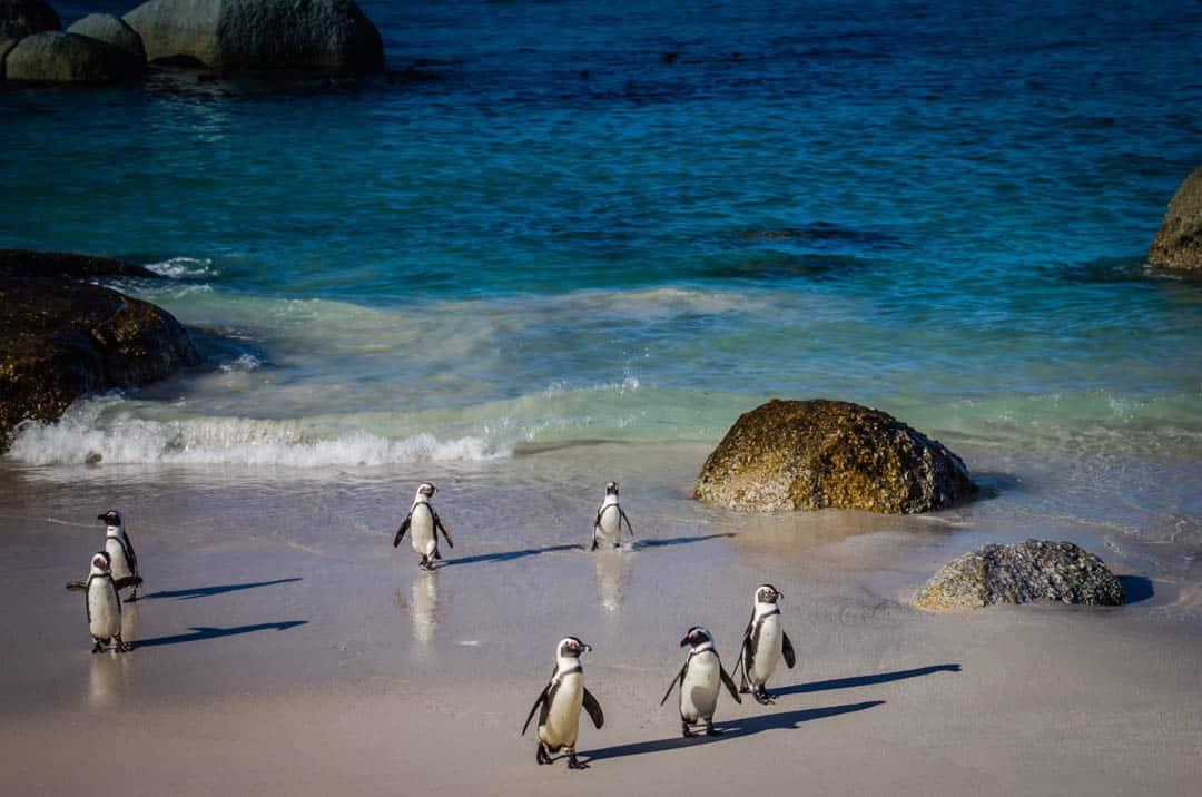 Boulder Beach South Africa African Jackass Penguins