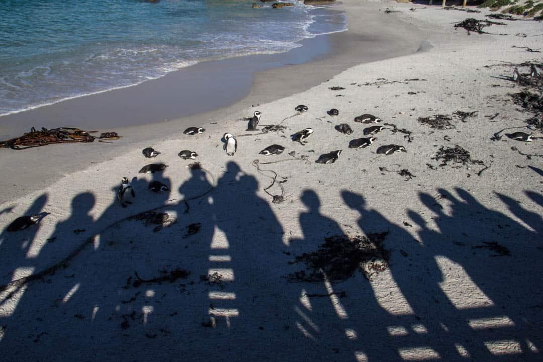 African Jackass Penguin Boulder Beach South Africa