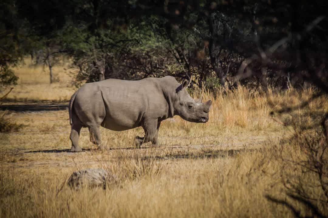White Rhino Botswana Africa