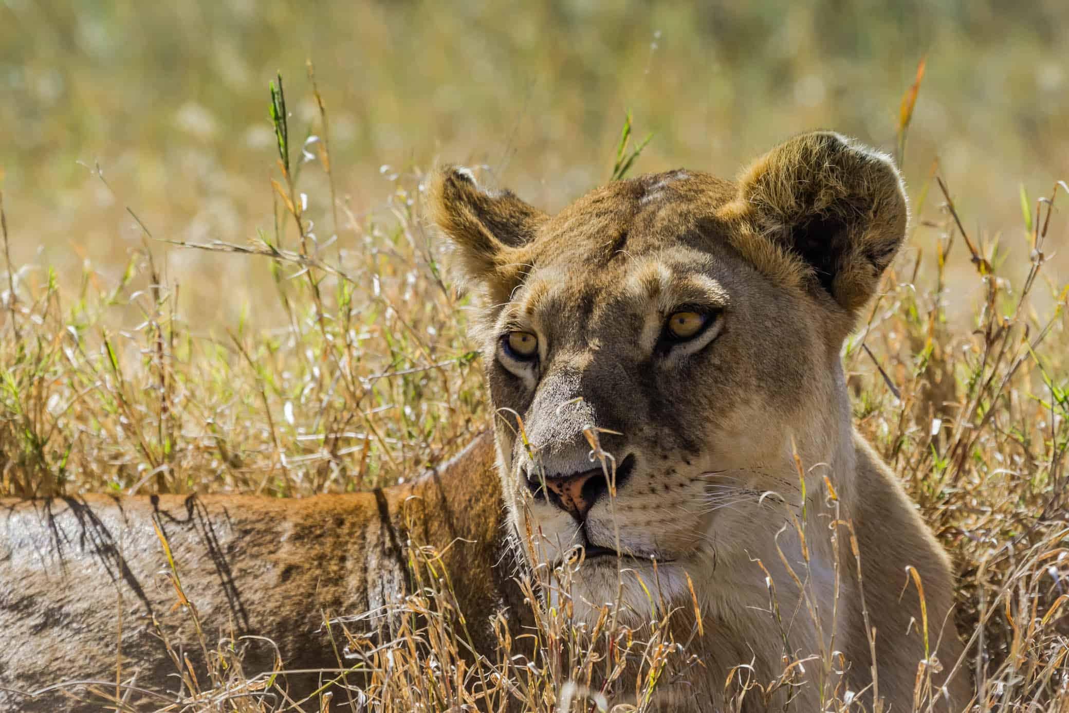 Serengeti safari -Lion