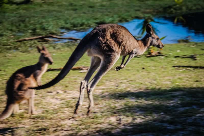 Kangaroo Pebbly Beach Australia