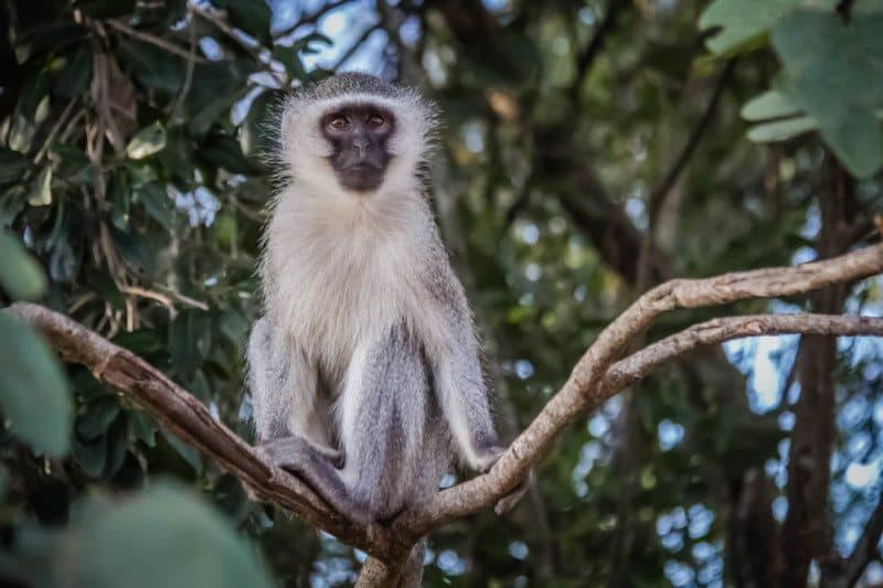 Vervet Monkey Zimbabwe Africa