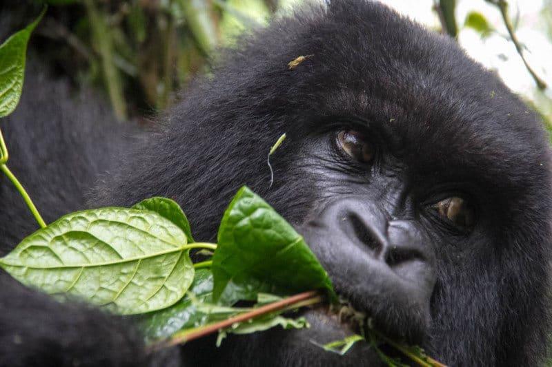 Mountain Gorilla Trekking Rwanda Susa Group