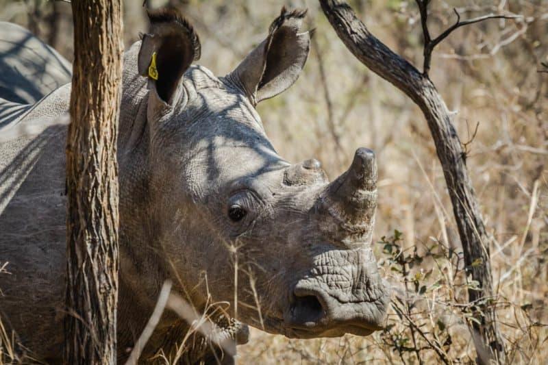 White Rhino Calf Zimbabwe
