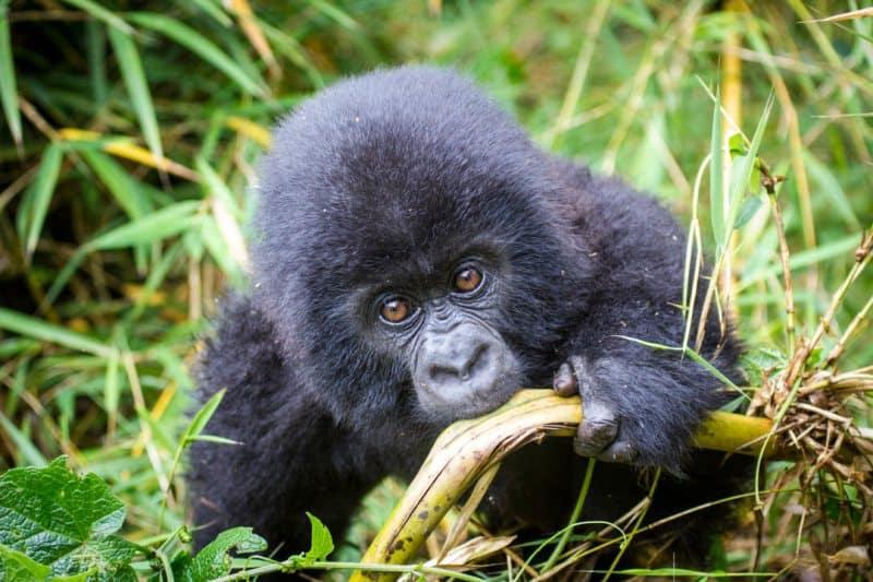 Baby Mountain Gorilla Rwanda Volcano National Park